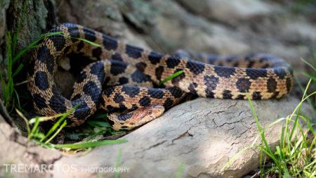 Eastern Fox Snake (Pantherophis gloydi)