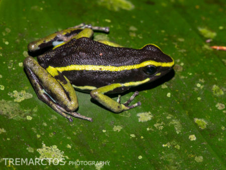 Three-striped Poison Frog (Ameerega trivittata)