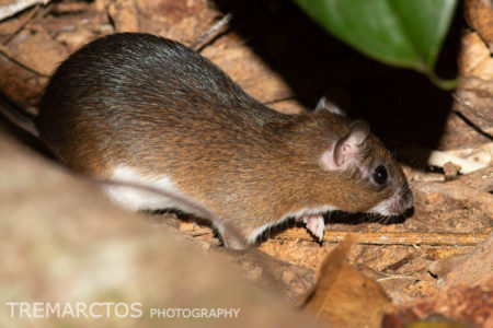 Spiny Rat (Proechimys sp)