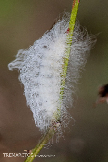 Black-waved Flannel Moth Caterpillar (Megalopyge crispata)