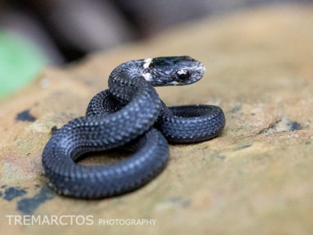 Northern Redbelly Snake (Storeria occipitomaculata occipitomaculata)