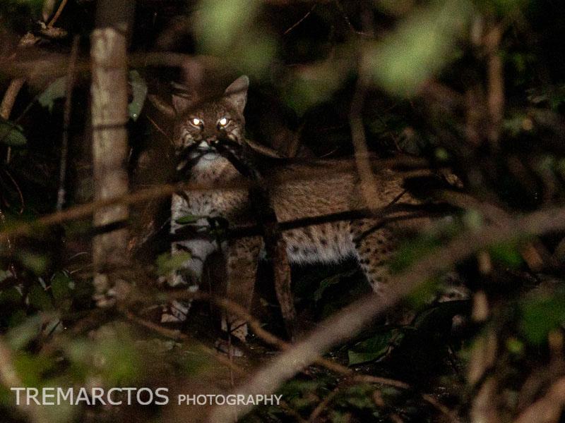 Bobcat in Ohio