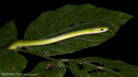 Rough Greensnake (Opheodrys aestivus)