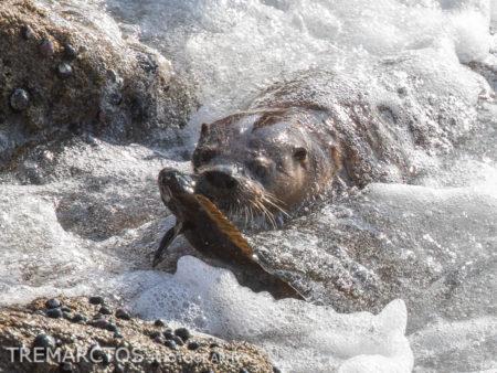 Marine Otter with Prey