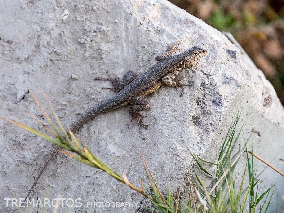 Yanez's Lava Lizard