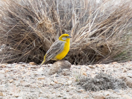Bright-rumped Yellow-Finch (Sicalis uropygialis)