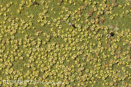 Yareta Flowers (Azorella compacta)