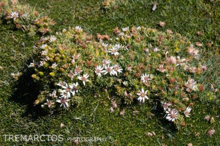 Cushion Plant (Distichia sp)