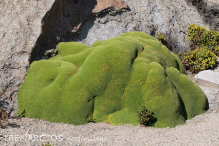 Yareta (Azorella compacta)