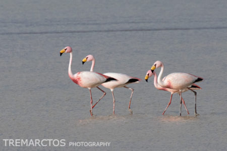 James's Flamingo (Phoenicoparrus jamesi)