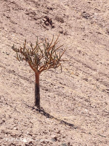 Candelabra Cactus (Browningia candelaris)