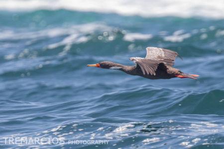 Red-legged Cormorant (Phalacrocorax gaimardi)