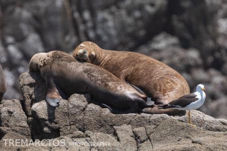 South American Sea Lion (Otaria byronia)