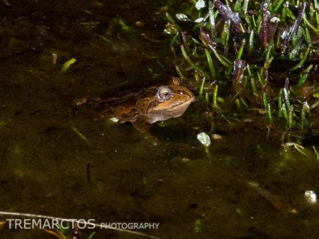 Marbled Four-eyed Frog (Pleurodema marmoratum)