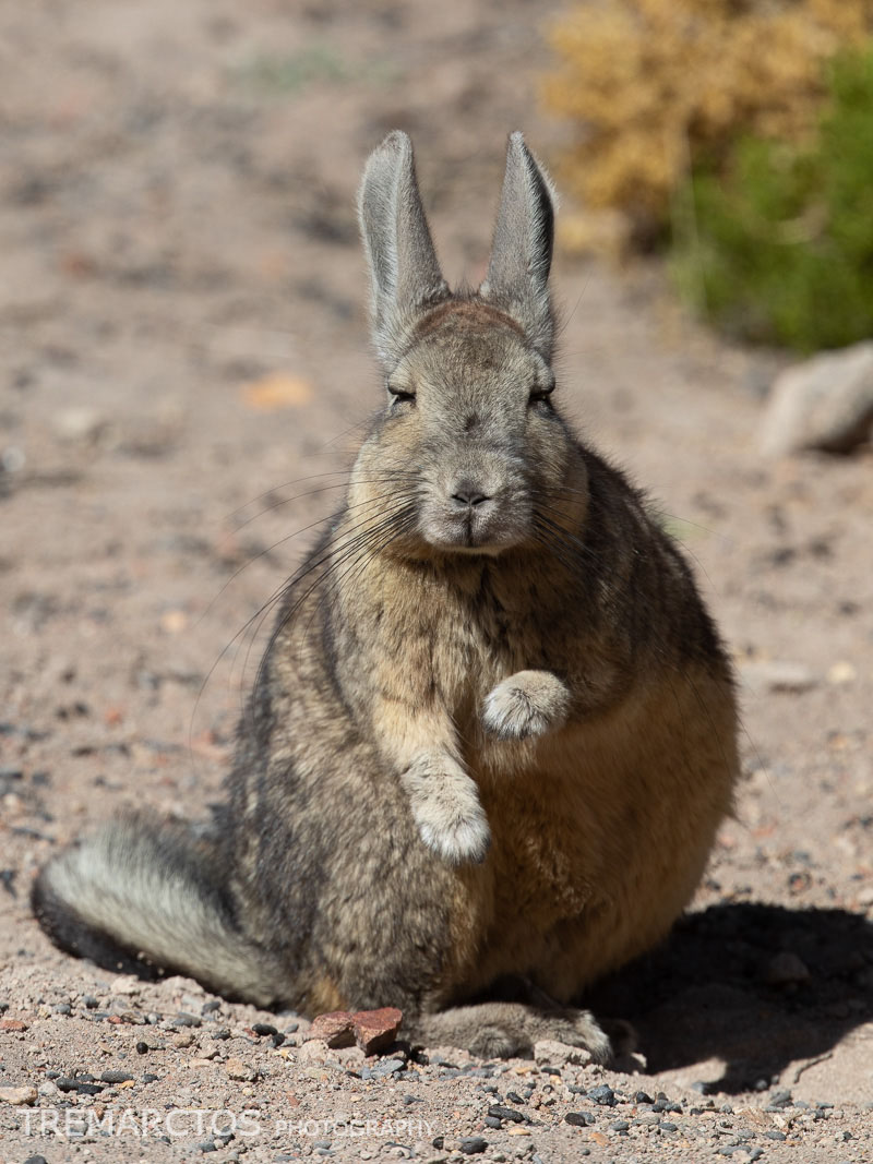 Mountain Viscacha Casting a Spell