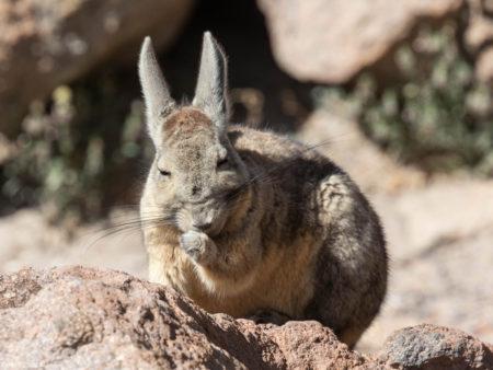 Grooming Mountain Viscacha (Lagidium viscacia)