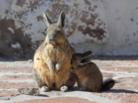 Nursing Mountain Viscacha (Lagidium viscacia)