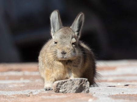 Baby Mountain Viscacha (Lagidium viscacia)