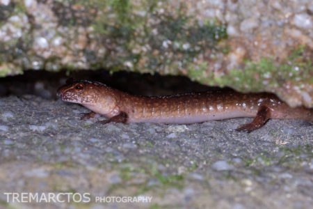 Spring Salamander in a Crevice
