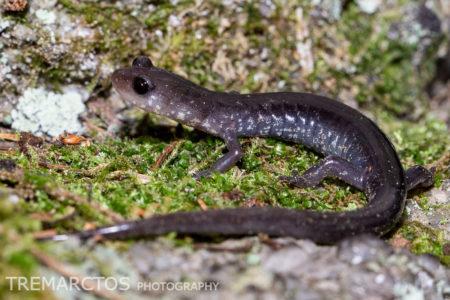 Wehrle's Salamander (Plethodon wehrlei)