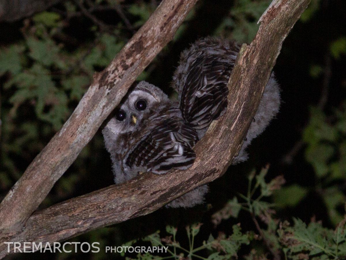 Fluffy Baby Barred Owls