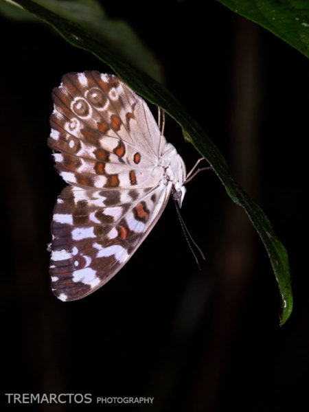 Cracker Butterfly (Hamadryas sp)