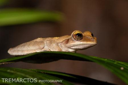 Slender-legged Tree Frog (Osteocephalus sp)