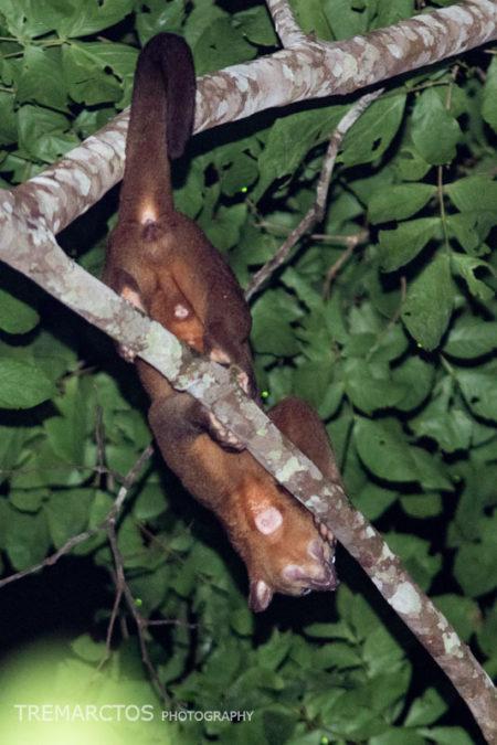 Kinkajou (Potos flavus)