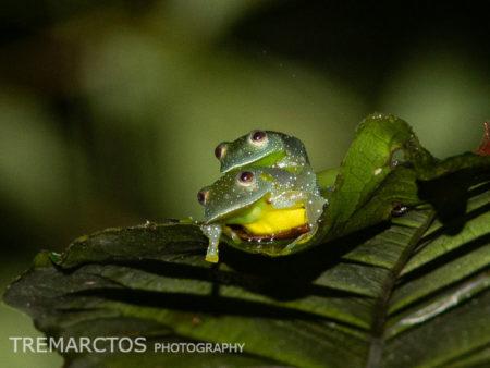 Resplendent Cochran Frog (Cochranella resplendens)