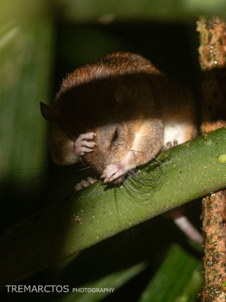 Arboreal Rice Rat (Oecomys sp)