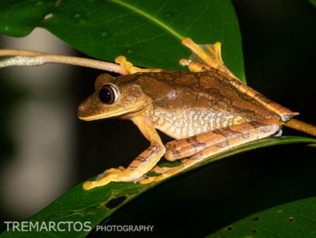 Canelos Treefrog (Boana appendiculata)
