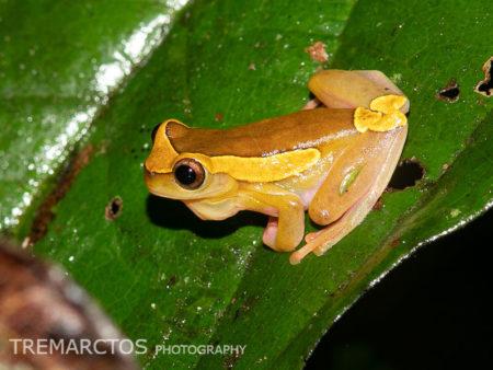 Upper Amazon Treefrog (Dendropsophus bifurcus)
