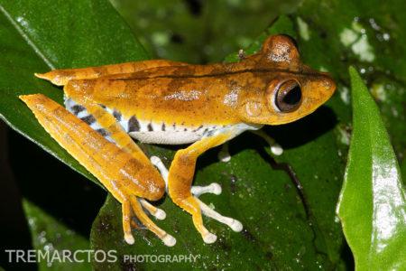 Convict Treefrog (Boana calcarata)