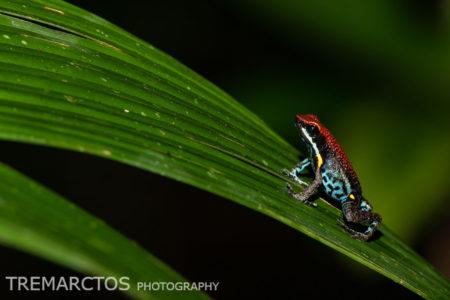 Ecuador Poison Frog (Ameerega bilinguis)