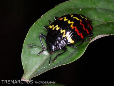 Zigzag Fungus Beetle (Erotylus incomparabilis)