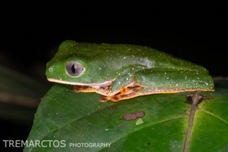 Tiger-striped Leaf Frog (Callimedusa tomopterna)