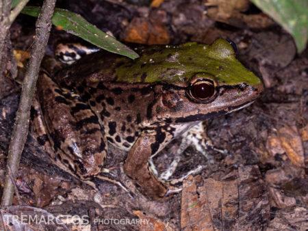 Amazon River Frog (Lithobates palmipes)