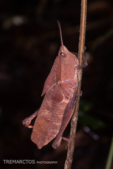 Colpolopha latipennis