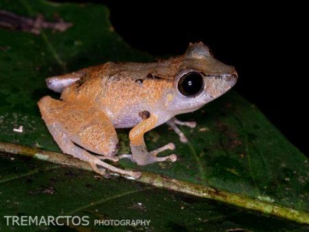 Jatun Sacha Rain Frog (Pristimantis kichwarum)
