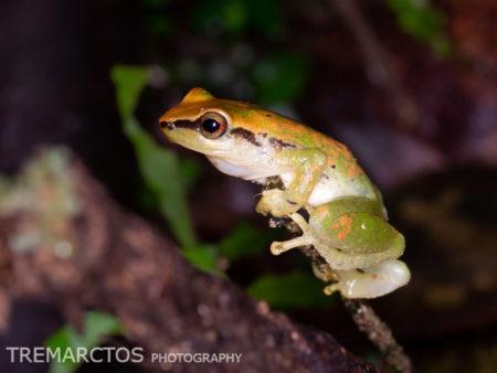Rain Frog (Pristimantis omeviridis?)