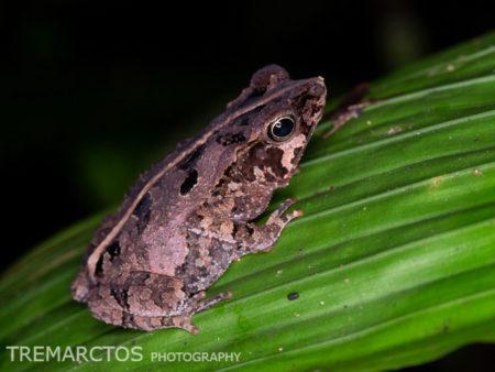 South American Common Toad (Rhinella margaritifera complex)