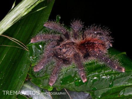 Pinktoe Tarantula (Avicularia sp)