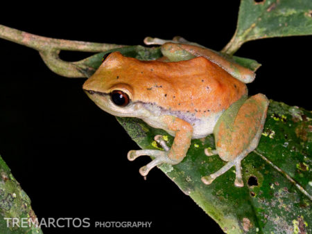 Rain Frog (Pristimantis enigmaticus?)