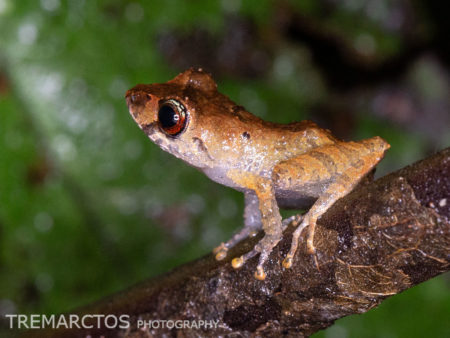 Luscombe's Rain Frog (Pristimantis luscombei)
