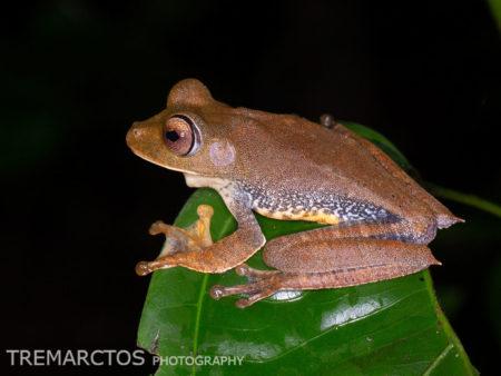 Yasuni Treefrog (Boana ventrimaculata)