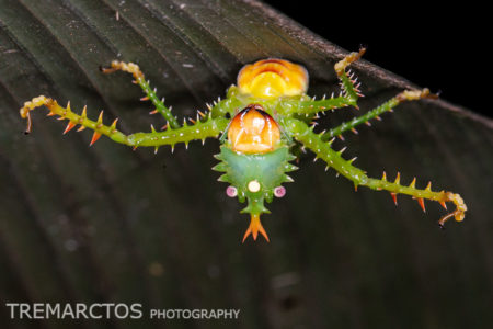 Spiny Devil Katydid (Panacanthus cuspidatus)
