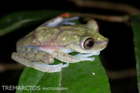 Nymph Tree Frog (Boana nympha)