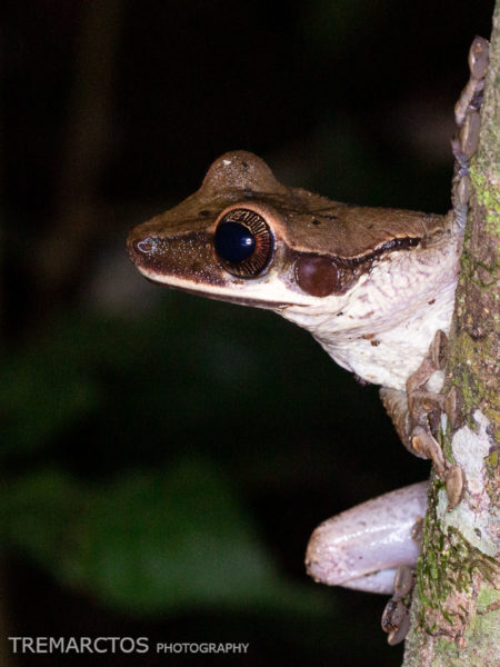 Flat-headed Spiny-backed Frog (Osteocephalus planiceps)