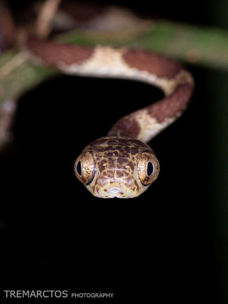 Common Blunt-headed Tree Snake (Imantodes cenchoa)