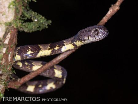 Neotropical Snail-Eater (Dipsas indica)
